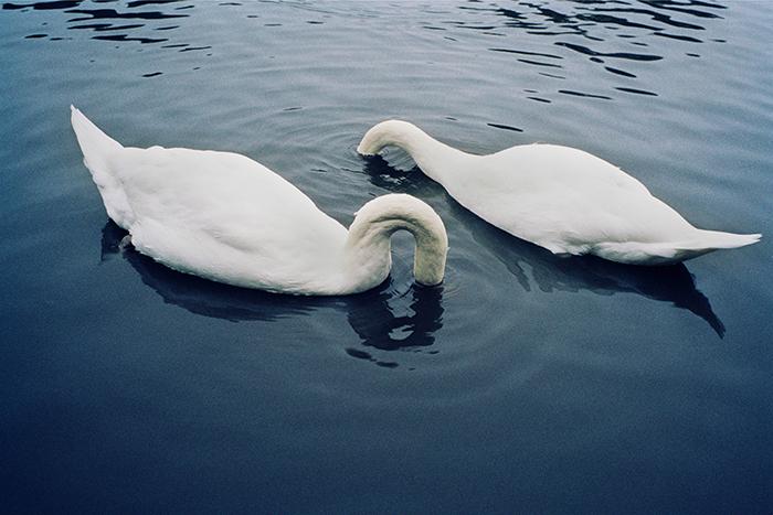 Will Rogan, Swans Through. 2005, C-print. 33 x 48